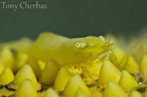 Living Yellow: Yellow Sea Star Shrimp by Tony Cherbas